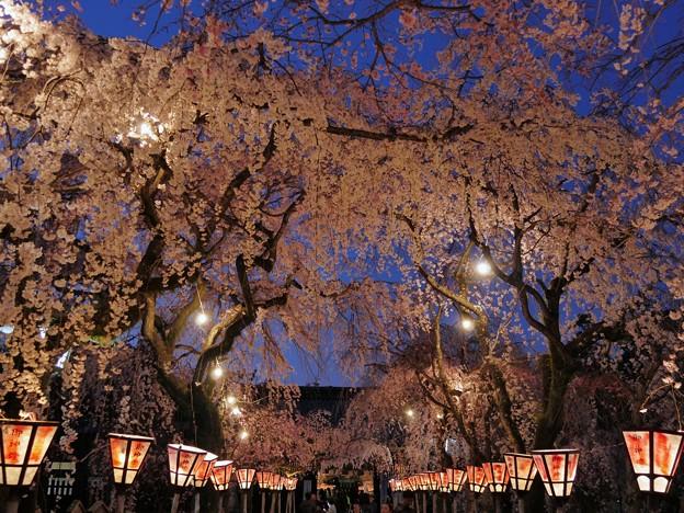 枝下桜・ライトアップ