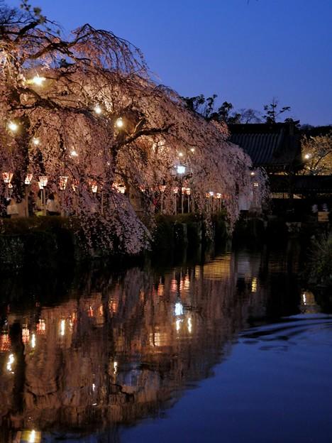 黄昏時の枝下桜