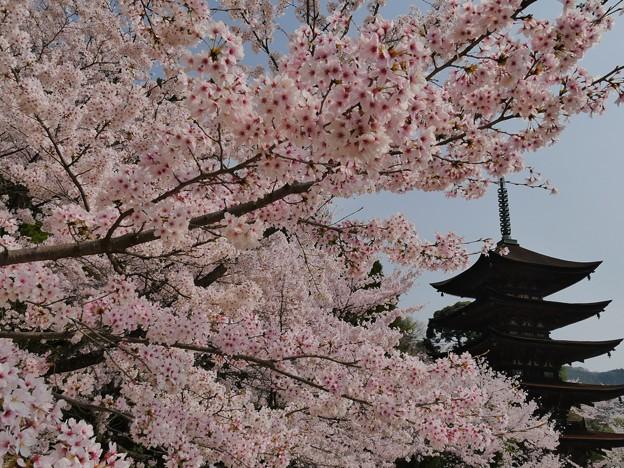 山口・香山公園・桜