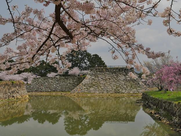 萩城跡・桜