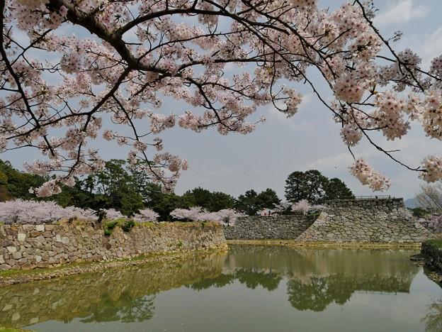 指月公園・桜