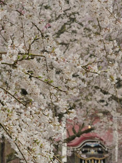 徳佐八幡宮・桜