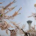 五稜郭の桜