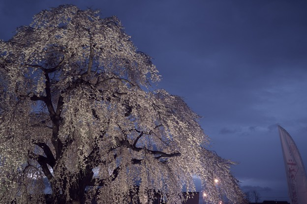 法亀寺のしだれ桜