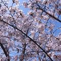 Photos: 2018 桜