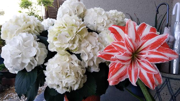 アマリリスと紫陽花