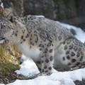 写真: 雪豹