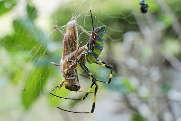 バッタ捕らえたクモ