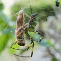 Photos: バッタ捕らえたクモ