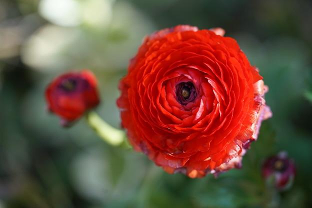 写真: 赤いラナンキュラス