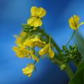 写真: アスパラ菜