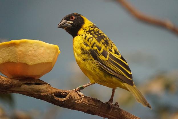 アフリカの小鳥