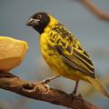 写真: アフリカの小鳥
