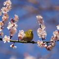 写真: 梅に目白