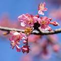 写真: 桜開花