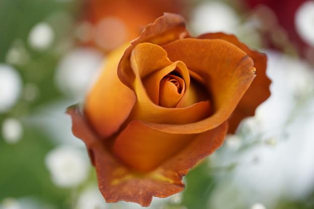 茶色い薔薇