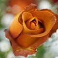 写真: 茶色い薔薇