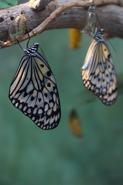 写真: オオゴマダラと蛹
