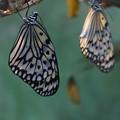 オオゴマダラと蛹