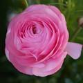 写真: ピンクのラナンキュラス