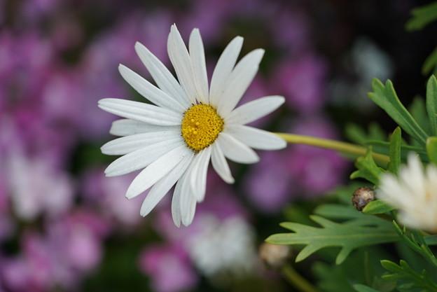 写真: 白いマーガレット