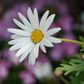 Photos: 白いマーガレット