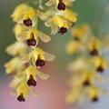 写真: 黄色い蘭