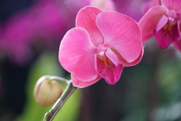 写真: ピンクの蘭