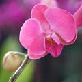 Photos: ピンクの蘭