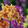 写真: 蘭の花々