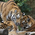 写真: 虎