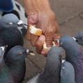 写真: パン食う鳩