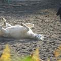 写真: 寝転ぶ馬