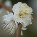 写真: 八重の白梅
