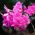 ピンクの蘭