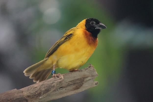 アフリカの鳥