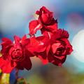 写真: 赤い薔薇