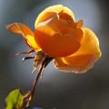 オレンジ色の薔薇