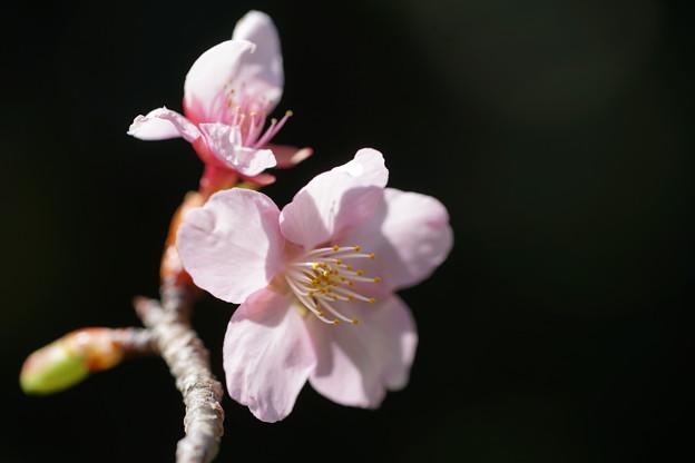 写真: 修善寺桜