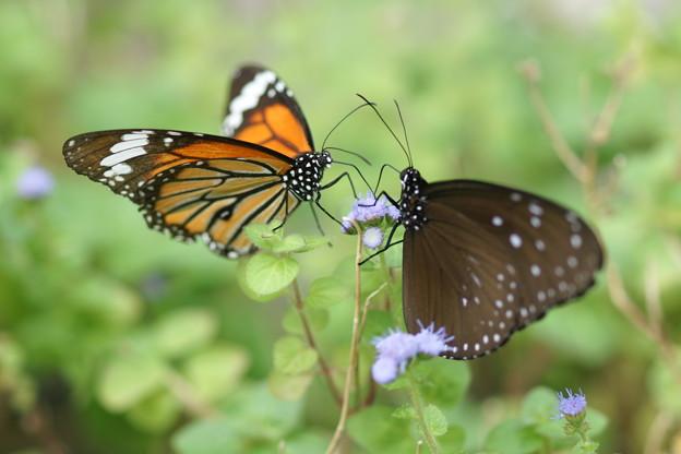 写真: 二匹の蝶