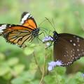 照片: 二匹の蝶