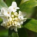 写真: 白い沈丁花