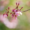 Photos: オカメ桜