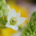 写真: 白いルピナス