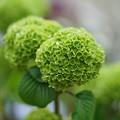 写真: 緑色の花