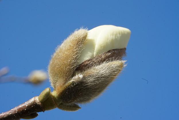 写真: 木蓮の蕾