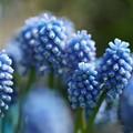 写真: 青いムスカリ