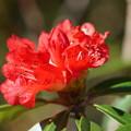 写真: 石楠花