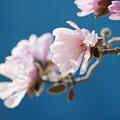 写真: ピンクのコブシ