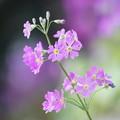 写真: 桜草